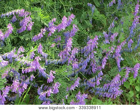 Hairy Vetch Or Winter Vetch: Lots Of Purple Flowers Close Up