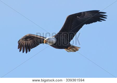 Bald Eagle Soaring Up In The Sky In North Idaho.