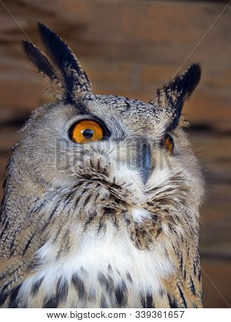 Portrait Of An Eagle Owl Bird Of Eagle Owl. The Eagle Owl Has Bright Orange Eyes. Feathers Stick Out