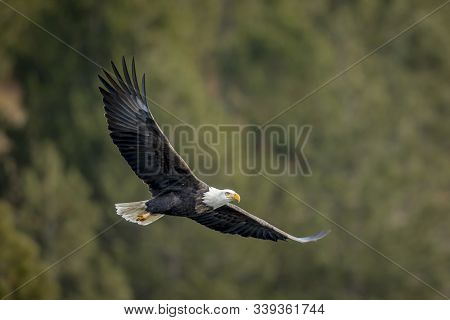 Bald Eagle Soaring Low Near The Trees.
