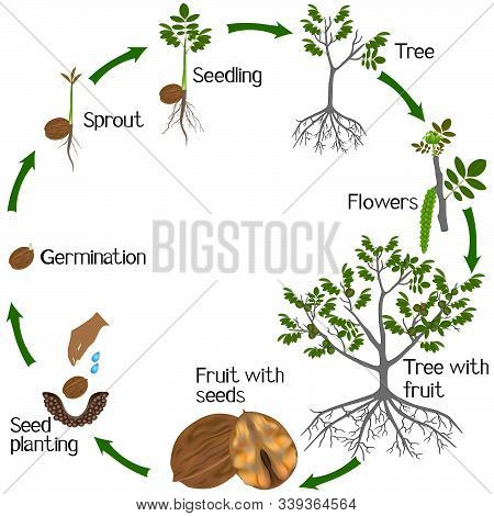 Cycle Of A Walnut Plant Growth Isolated On White Background.