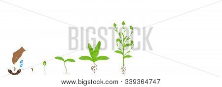 Cycle Of Calendula Plant Growth, Isolated On White Background.