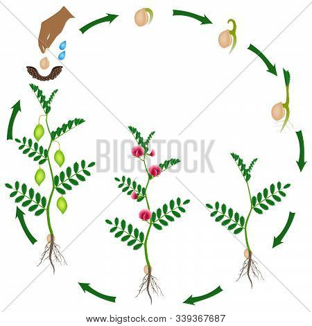 Cycle Of Growth Of A Chickpea Plant On A White Background.