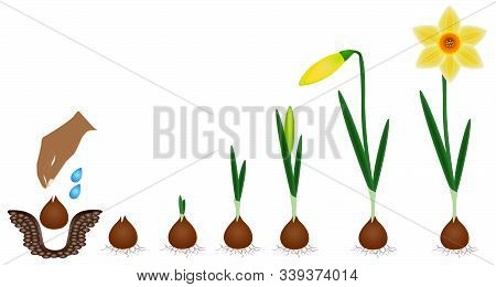 Cycle Of Growth Of A Narcissus Plant Isolated On A White Background.