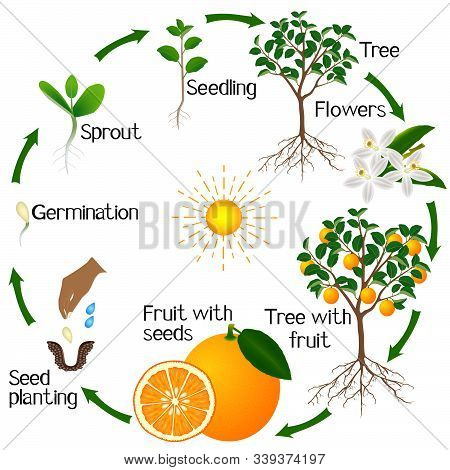 Cycle Of Growth Of An Orange Tree On A White Background.