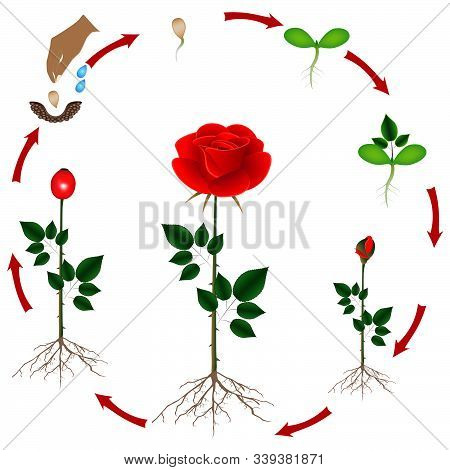 Cycle Of Growth Of A Rose Of A Plant On A White Background.