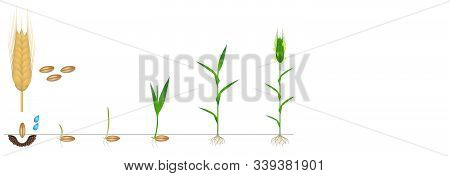 Cycle Of Growth Of A Rye Plant On A White Background.