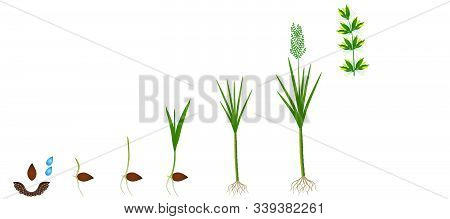 Cycle Of Growth Of A Sugarcane Plant On A White Background.