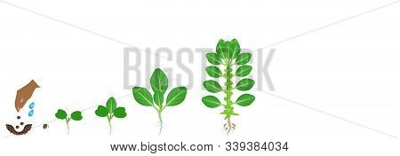 Cycle Of Growth Of Brussels Sprouts Plant On A White Background.