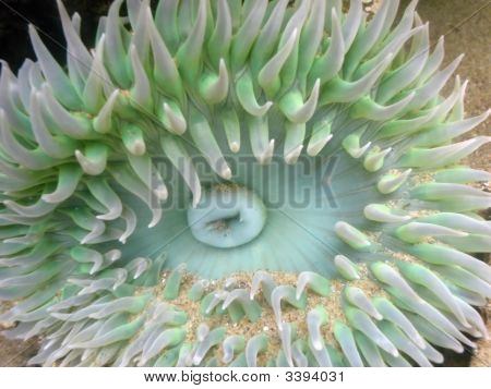 Anemone In A Tide Pool