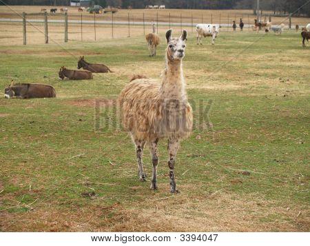Shaggy Llama