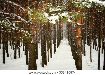 Sunset In Winter Forest Snow Pine Fir Tree Road. Scenic Winter Fir Tree Pine Forest Way. Winter Land