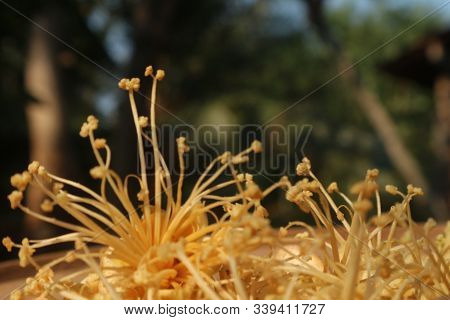 Anthers And Durian Flower Stamens, Dark Background, Anthers And Gold Stamens