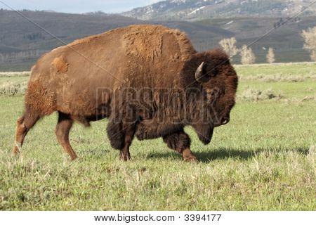 Wild America Bison