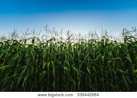 Corn Maize Field Against Blue Sky In Summer. Copy Space Agricultural Concept