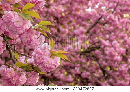 Cherry Blossom In The Garden. Beautiful Springtime Nature Background. Close Up Of Blooming Twigs Of