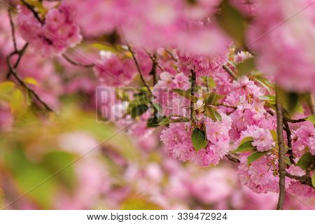 Cherry Blossom In The Park. Beautiful Springtime Nature Background. Close Up Of Blooming Twigs Of Sa