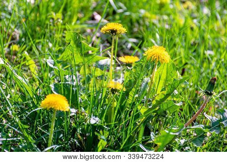 Yellow Dandelion Flowers In The Tall Green Grass. Springtime Nature Background On A Sunny Day.