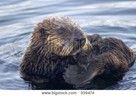 Sea Otter Grooming