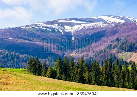 Carpathian Countryside In Springtime. Green Grass On The Meadow. Coniferous Forest On The Hills. Sno