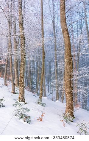 Magical Winter Nature Scenery In The Morning. Beautiful Hazy Weather In The Primeval Beech Forest Of