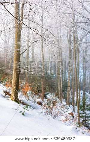 Magical Winter Nature Scenery In The Morning. Wonderful Misty Weather In The Primeval Beech Forest O