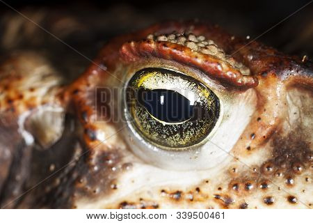 The Eye Of A Cururu. Rhinella, Commonly Known As South American Toads, Beaked Toads Or Rio Viejo Toa