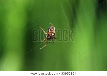 red spider on green background