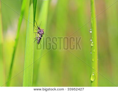 small midge on green background