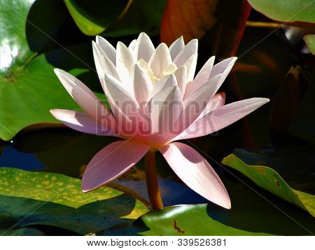 Macro Photo With A Decorative Background Of A Beautiful Water Lily Flower In Water For Gardening And