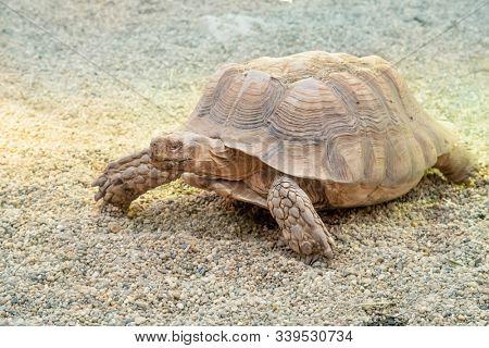 A large desert tortoise walking through arid desert areas.