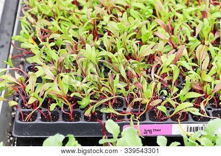 A Tray Of Swiss Chard Microgreens Sprouting