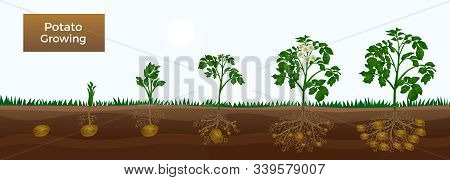 Potato Growth Stages Horizontal Educative Gardening Banner With Planting Sprout Development Tuber In