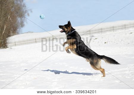 German Shepherd Dog Catch Ball In Winter. Dog Play In Snow And Jump To Catch A Toy