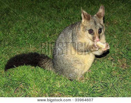 Feeding A Possum