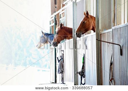 Horses In Box In Stable Look Out The Window
