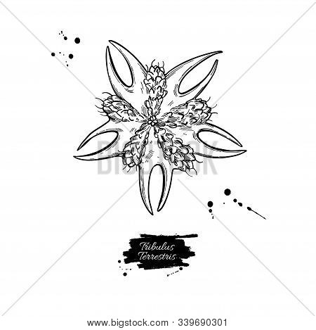 Tribulus Terrestris Seed Vector Drawing. Isolated Medical Plant .
