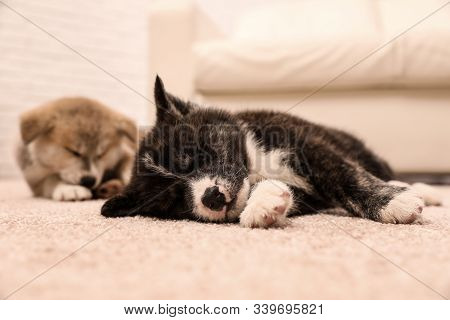 Cute Akita Inu Puppies On Floor Indoors. Friendly Dogs