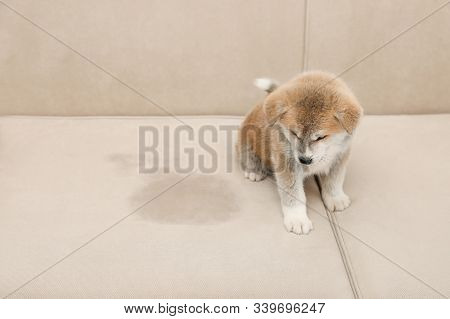 Cute Akita Inu Puppy Near Wet Spot On Sofa. Untrained Dog