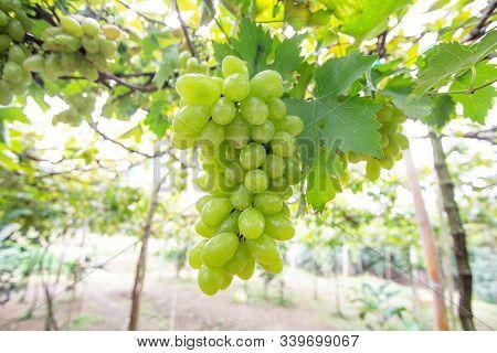 Bunch Of Green Grapes Fruit In Vineyard