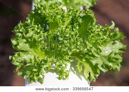 Green Coral Lettuce Grown In A Hydroponic System