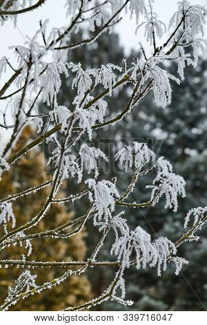 Frozen, icy branches of a tree