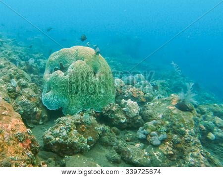 A Brain Coral At Tulamben In Bali