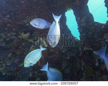 Elongate Surgeonfish At The Liberty At Tulamben On Bali
