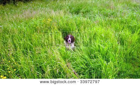 A Springer Spaniel awaiting command