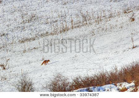 Running Red Fox