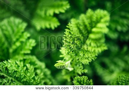 Beautyful Dissected Leaves Green Foliage. Natural Floral Monochrome Background, Selective Focus