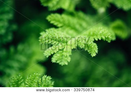 Natural Floral Monochrome Background. Beautyful Dissected Leaves Green Foliage, Selective Focus