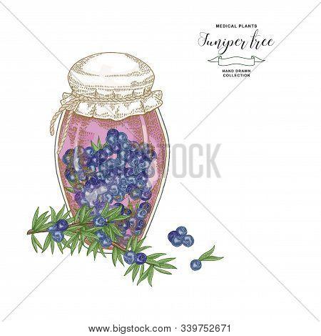 Juniper Tree Branch. Colorful Berries Of Juniper In Glass Jar. Hand Drawn Medical Plants. Vector Ill