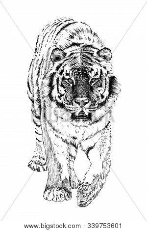 Hand Drawn Tiger, Sketch Graphics Monochrome Illustration On White Background (originals, No Tracing